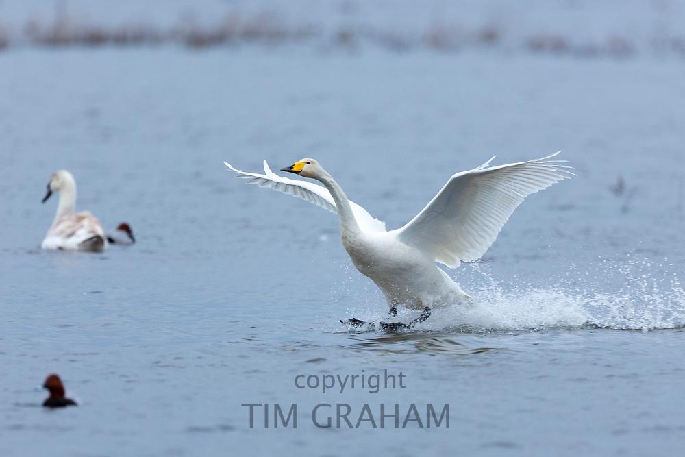 Whooper Swan, Cygnus cygnus, in flight with wings spread wide landing and splashing water at Welney Wetland Centre, Norfolk UK