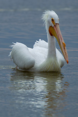 Pelicaniformes (Ibis, Herons, Pelicans)