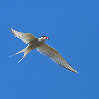 The Arctic Tern makes the longest migration of any bird, flying 44,000 miles from pole to pole annually
