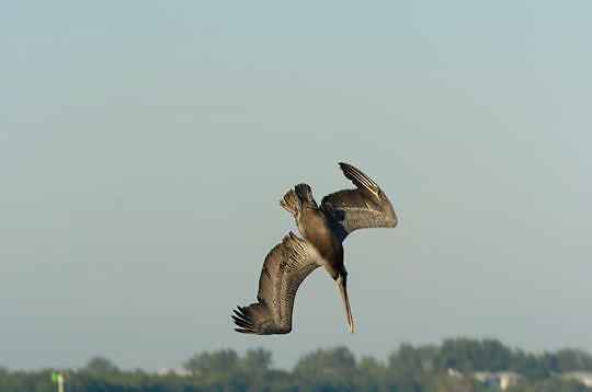 Brown Pelican (Pelecanus occidentalis) Diving into water to get food. Near Boca Grande, Florida.