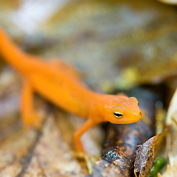 Red-Spotted Newt, Notophthalmus viridescens viridescens,red-eft stage.  West Branch of the Westfield River, Chester, Massachusetts.