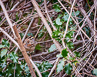 White-throated Sparrow. Image taken with a Nikon D700 camera and 28-300 mm lens (ISO 800, 300 mm, f/5.6, 1/80 sec)