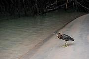 Striated Heron (Butorides striatus)<br /> Puerto Villamil<br /> Isabela Island, <br /> GALAPAGOS,  Ecuador, South America