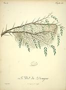 Drongear Nest from the Book Histoire naturelle des oiseaux d'Afrique [Natural History of birds of Africa] Volume 4, by Le Vaillant, Francois, 1753-1824; Publish in Paris by Chez J.J. Fuchs, libraire 1805