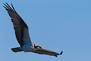 An osprey (Pandion haliaetus) hovers over Puget Sound near Everett, Washington, in search for fish. Osprey, also known as sea hawks or fish eagles, hover over water until they spot fish. They then plunge head and feet first to grab their prey. Barbed pads on their feet prevent slippery fish from getting away.