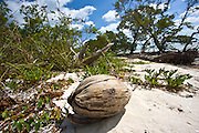 Coconut on white sand at idyllic beach in Islamorada, Florida Keys, United States of America