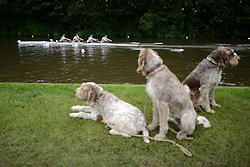 © Licensed to London News Pictures. 27/06/2012. Henley-on-Thames, UK Izzy, Poppy and Molly Italain Spinones watch a boat. Spectators watch rowing crews compete at the Henley Royal Regatta on June 26, 2012 in Henley-on-Thames, England. The 172-year-old rowing regatta is held 27th June- 1st July 2012. Photo credit : Stephen Simpson/LNP