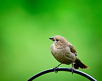 Brown-headed Cowbird.  Image taken with a Fuji X-T3 camera and 200 mm f/2 telephoto lens + 1.4x Teleconverter