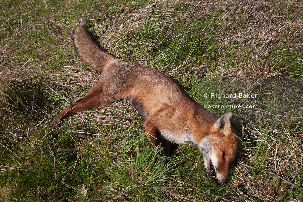 The body of a dead fox lying in grass on farmland on 3rd April, 2017, in Hadlow, Kent, England. The animal appeared very healthy with no visible inuries and from its overall condition, it was very recently deceased.