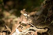 Bothrops pit-viper, Bothrops sp., Atlantic rainforest, Brazil, on forest floor