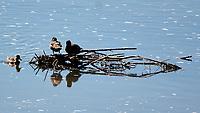 Mallard (Anas platyrhynchos). Windy Gap Reservoir, Grand County, Colorado. Image taken with a Nikon D2xs camera and 80-400 mm VR lens.