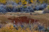 Deer in marsh in fall, Seedskadee National Wildlife Refuge, Wyoming