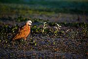 Aquidauana_MS,  Brasil...Passaro na Fazenda Rio Negro no Pantanal...A bird in Rio Negro farm in the Pantanal...Foto: JOAO MARCOS ROSA / NITRO