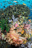Damsels and Anthias feed in the current around colorful Hard and Soft Corals<br /> <br /> Shot in Indonesia