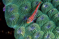 A Neon Triplefin, Helcogramma striatum, perches upon a colony of Star Coral, likely Favites sp.  The Triplefin feeds mainly upon algae and small invertebrates that occur on the reef.  Similar to a member of the Goby family, the Triplefins differ taxonomically due to the division of their dorsal fin into 3 distinct parts.  Shot in the Eastern Fields region of Papua New Guinea.