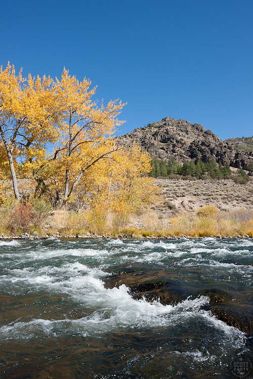 """""""Truckee River in Autumn 14"""" - Photograph of yellow leaved cottonwood trees, taken along the shore of the Truckee River in Autumn."""