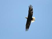 Austria Eagle in the sky