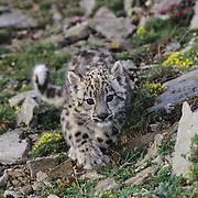 A young Snow Leopard (Panthera uncia) cub.  Captive Animal