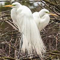A pair of egrets during nesting season.
