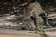 A pair of jaguars, Panthera onca, mating.