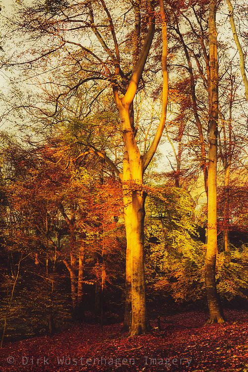 Early morning light illuminating foliage and trunks of beech trees on a November morning