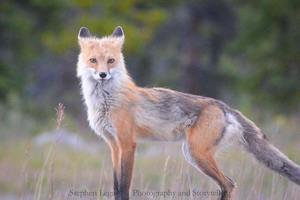 Red Fox, Kananaskis Valley, Alberta