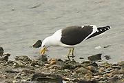 Kelp Gull, Larus dominicanus, feeding on seashore, Ushuaia, Argentina, South America