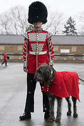 © Licensed to London News Pictures. 17/03/2018. London, UK. Irish Guards drummer Adrian Cathcart and Irish wolfhound mascot dog Domhnall attend the St Patrick's Day parade. Photo credit: Ray Tang/LNP