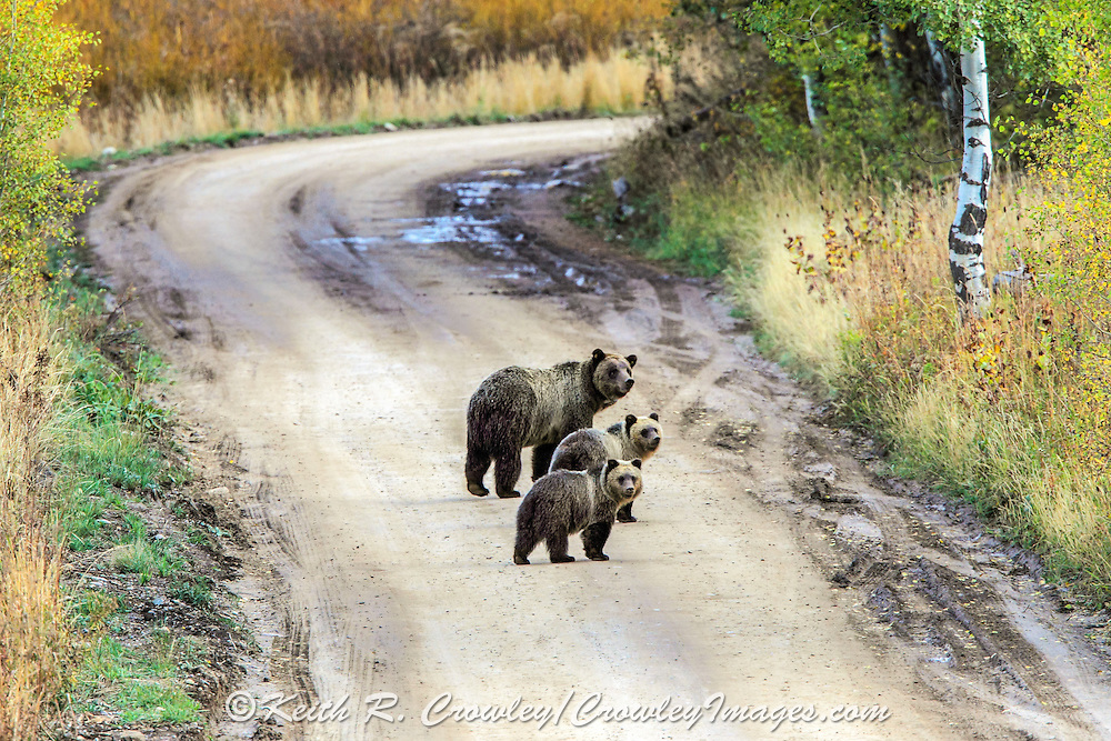 Sow Grizzly and Two Cubs on a gravel road in Autumn