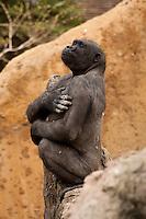 Female Western Lowland Gorilla at the Calgary Zoo..©2009, Sean Phillips.http://www.Sean-Phillips.com