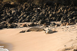 Hawaii: Molokai, endangered monk seals on the beach at Kaupoa,  part of the Lodge at Molokai Ranch. .Photo himolo203-71934..Photo copyright Lee Foster, www.fostertravel.com, lee@fostertravel.com, 510-549-2202