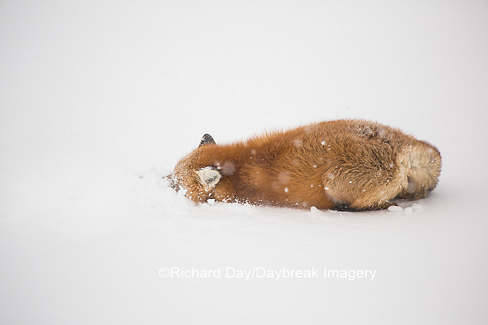 01871-02908 Red Fox (Vulpes vulpes) at Cape Churchill, Wapusk National Park, Churchill, MB