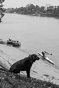 Mortlake/Chiswick. Greater London. London. 2017 Bourne Regatta At Chiswick Bridge. Course, Runs from and to Mortlake Anglian and Alpha Boathouse, dependent on the Tide Direction. Chiswick.  River Thames. <br /> <br /> General view, Spectator [Dog] watching the regatta.<br /> <br /> Saturday  06/05/2017<br /> <br /> [Mandatory Credit Peter SPURRIER/Intersport Images]