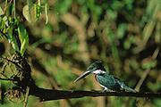 Amazon Kingfisher (Chloroceryle amazona)  - Amazonia, Peru