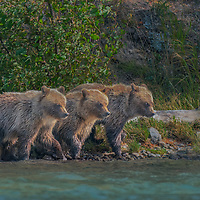 Three grizzly bear cubs perfectly aligned on the bank of the Chilko river watching mom fish for salmon