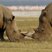 White rhinoceros (Ceratotherium simum) is also know as the grass rhino. Two rhinos horn to horn, with flamingos in distance. Lake Nakuru National Park, Kenya, Africa