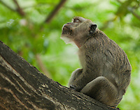 Long-tailed macaque (Crab-eating macaque), Macaca fasicularis, in a tree near the docks in Dili, Timor-Leste (East Timor).