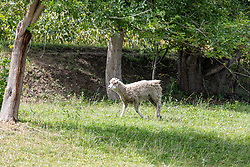 White sheep in a pasture with a good coat of wool
