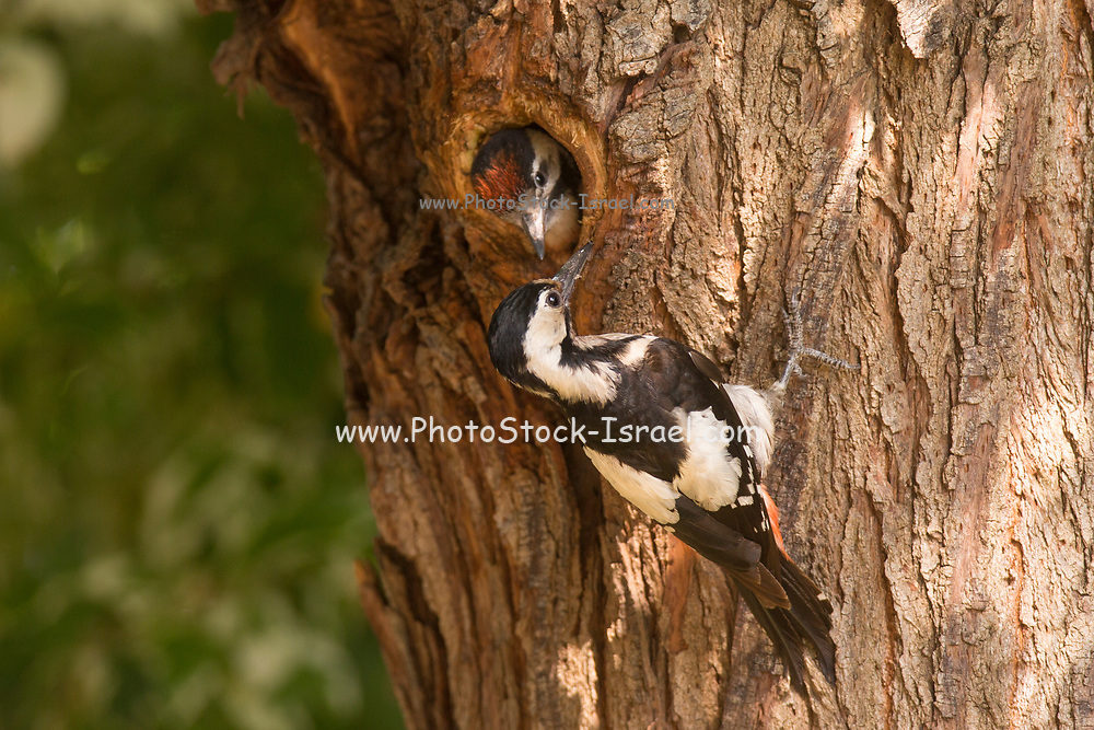 Syrian Woodpecker (Dendrocopos syriacus) At its nest feeding a young hatchling bird, The Syrian Woodpecker is a resident breeding bird from southeastern Europe east to Iran. Its range has expanded further northwest into Europe in recent years. Syrian Woodpecker is 23–25 cm long, and is very similar to the Great Spotted Woodpecker, Dendrocopos major. Photographed in Israel in May