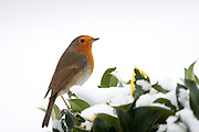 Typical winter scene robin perches on hedgerow holly and ivy by snowy hillside in The Cotswolds, UK