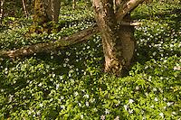 Yellow anemone, wood anemone, (Anemone ranunculoides) Matsalu Bay Nature Reserve, Estonia