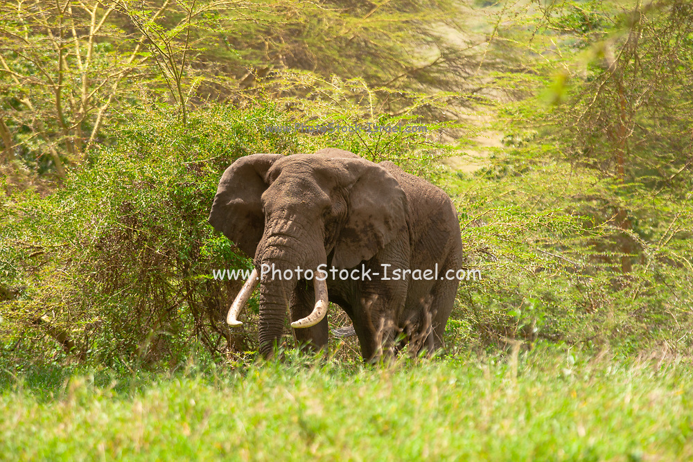 Single lone African Bush Elephant (Loxodonta africana) Photographed in The wild