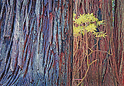 redwood trees and spring bloom abstract, Redwood National Forest, CA.