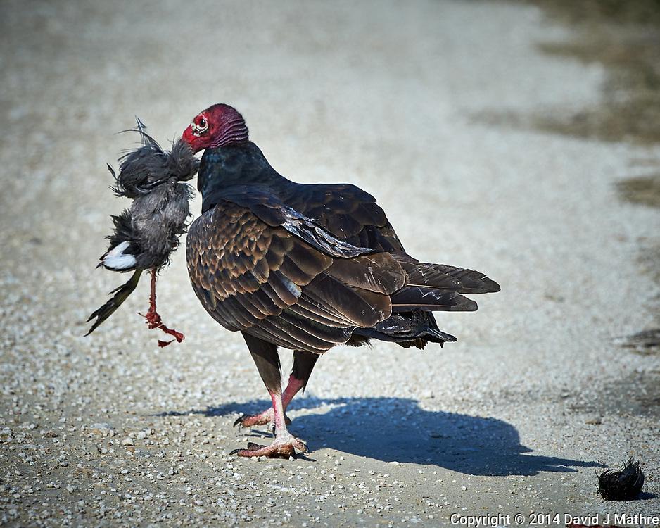 Turkey Vulture Having Brunch. Biolab Road, Merritt Island National Wildlife Refuge. Image taken with a Nikon D4 camera and 500 mm f/4 VR lens (ISO 1100, 500 mm, f/9, 1/2000 sec).