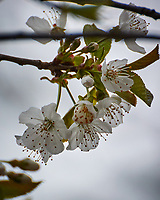 Fruit Tree Flowers. Image taken with a Nikon 1 V3 camera and 70-300 mm VR lens.