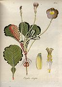Woodsorrel (Oxalis crispa). Illustration from 'Oxalis Monographia iconibus illustrata' by Nikolaus Joseph Jacquin (1797-1798). published 1794