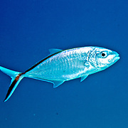 BarJack inhabit open water in Tropical West Atlantic; picture taken Grand Turk.