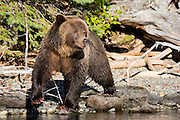 Grizzly standing on shoreline of Chilko Lake