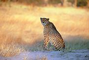 A cheetah sitting watching  for approaching prey in Moremi National Park, Botswana