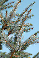 Sitka Spruce Picea sitchensis Pinaceae Height to 52m<br /> Conical evergreen with spire-like crown and buttressed trunk. Bark Greyish-brown, scaly. Branches Ascending with pendent side-shoots. Needles To 3cm long, keeled, bright green above with 2 pale-blue bands below. Reproductive parts Female cones yellowish at first, becoming cylin¬drical and shiny pale brown. Status Native of W North America. Planted here for its lightweight, strong timber.